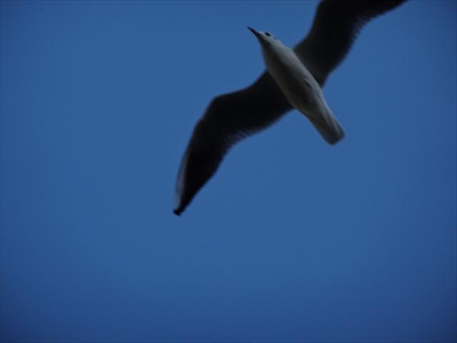 飛翔するカモメ